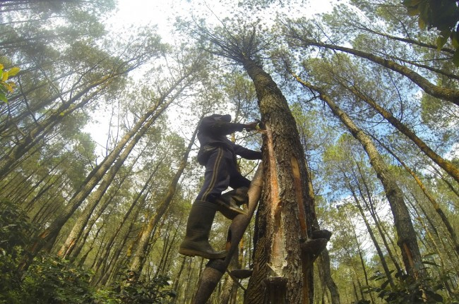 Haze Causes Indonesia's Rubber Production to Decline