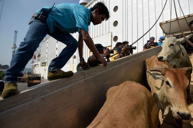 Govt Plans to Import 600-700 Thousand Cattle Next Year