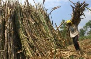 Sugarcane industry Still Hampered by Many Challenges