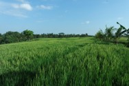 Rice Field Trail in Nyambu Village