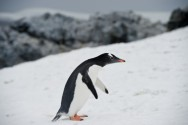 More Antarctic Protections Urged on World Penguin Day