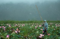 After 10-Year Gap, Thai Lotuses Bloom Again
