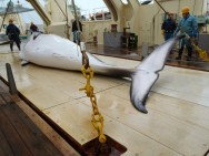 Japan Kicks Off Pacific Whaling Campaign