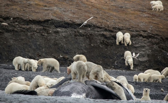 Polar Bears Crowd on Russian Island in Sign of Arctic Change