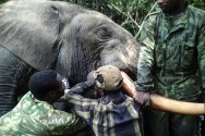 Gabon Fights Elephant Poachers with Hi-Tech Tracker Collars