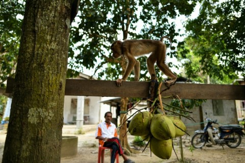 The monkeys are trained to clamber up palm trees and pick coconuts. (Photo:AFP/Manan Vatsyayana)