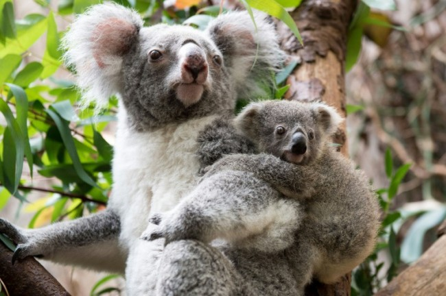 Australia Pledges Cash to Help Save the Koala