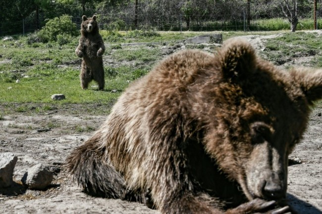 Traumatised Bears, Wolves Find Solace at Greek sanctuary