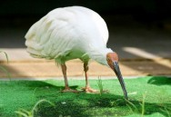 In Japan-China Ties, Ibis Outreach but no Panda Diplomacy