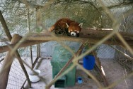 'Kung Fu' Red Pandas Settle into New Laos Sanctuary