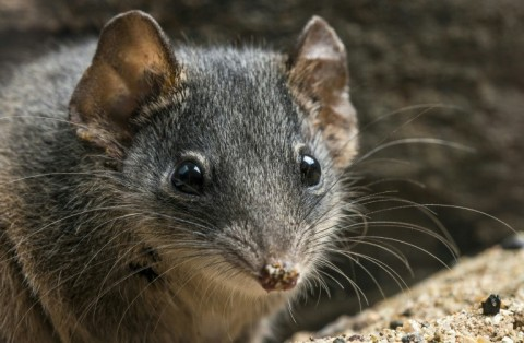 The silver-headed antechinus: frenzied sex sessions are endangering the species. (Photo:AFP/Queensland Museum/Gary Cranitch)