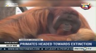 Primates Headed Towards Extinction