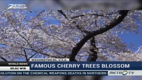 Famous Cherry Trees Blossom in Washington DC