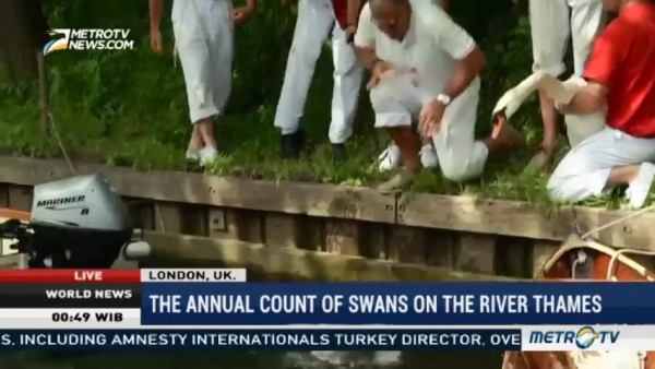 The Annual Count of Swans on The River Thames