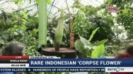 Rare Indonesian 'Corpse Flower'