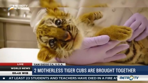 Two Motherless Tiger Cubs Are Brought Together at San Diego Zoo