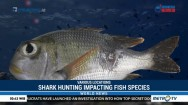 Shark Hunting Having an Indirect Impact on Fish Species