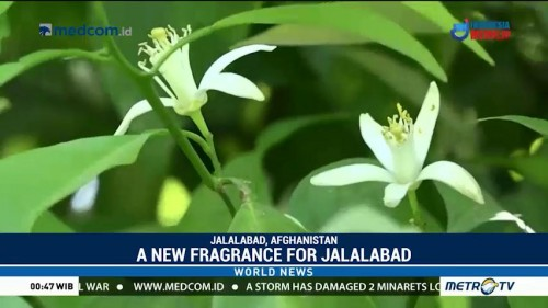 A New Fragrance for Jalalabad