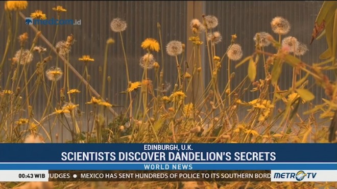 Secret of Dandelion Flight Discovered by Scientists